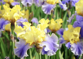 Irises For Every Garden