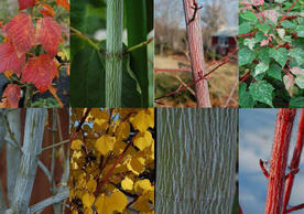 New and Unique Woody Plants for Use in Ornamental Gardens