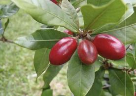"Miracle Berries: ""How a plant turns sour into sweet"""